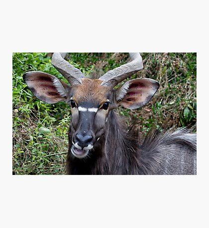 Nyala Male Close Up Photographic Print