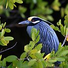 """  Yellow-Crowned Night Heron  "" by fortner"