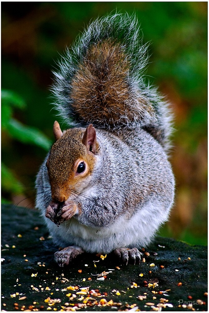 Squirrel by Pamsar
