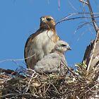 Red-tailed Hawk & Chick by Kimberly Chadwick