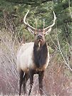 Rocky Mountain Elk by Christine Ford