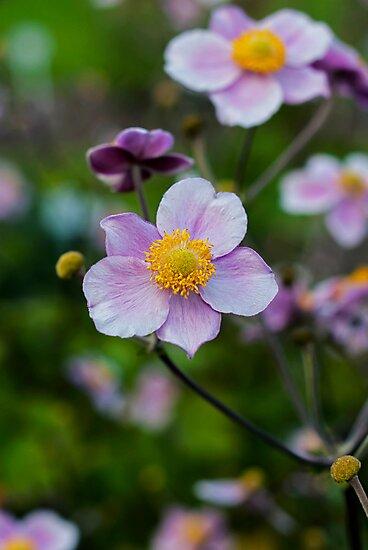 Anemone by Vac1