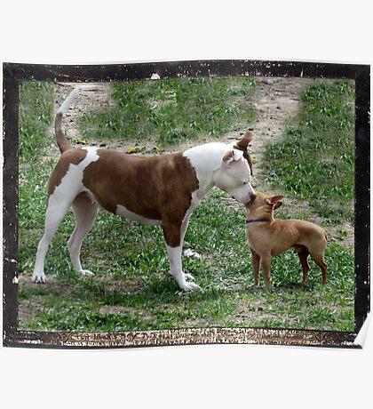 Pitbull meets Chihuahua  Poster