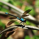 Blue Dragonfly by robmac