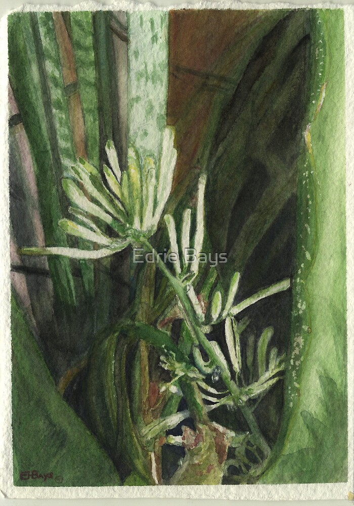 Blooming Snake Plant (Sansevieria trifasciata ) by Edrie Bays