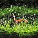 Young Deer by Reinhardt