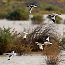 Red Necked Avocets on the Wing by Richard  Windeyer