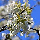 backtorn blossom Eire by Edward  manley