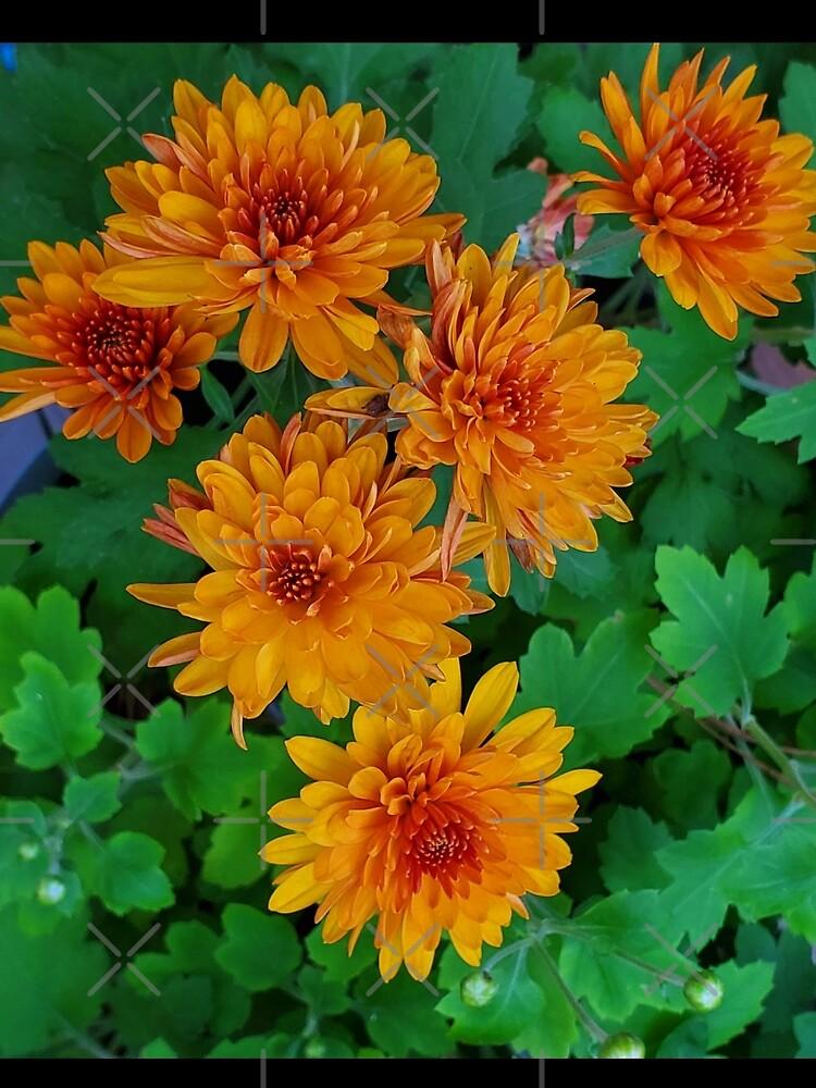 Chrysanthemum from my garden by dreamie09