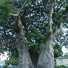 Grove Place Baobab Tree by Christine Lewandowski