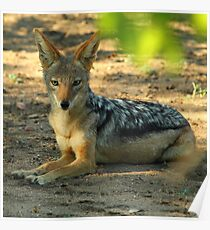 Black backed jackal Poster