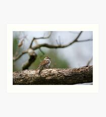 Chipping Sparrow in Tree Art Print