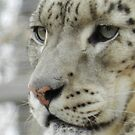 Snow Leopard by Darcy Overland