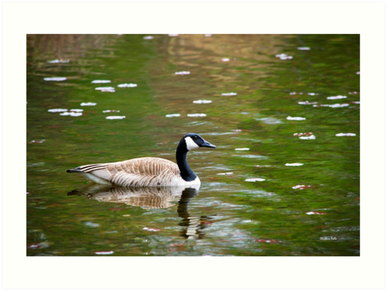 Canada Goose by Christina Rollo