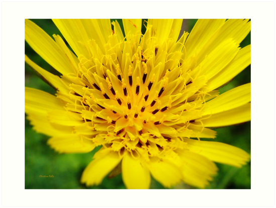 Yellow Flower by Christina Rollo