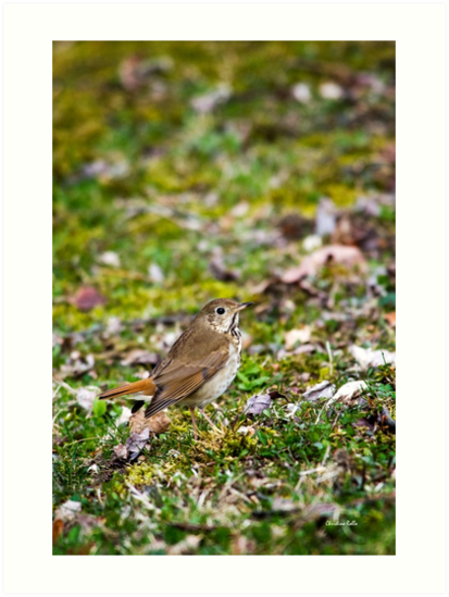 Hermit Thrush by Christina Rollo