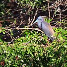 """  Tricolored  Heron  "" by fortner"