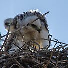 Red Tailed Hawk Chicks by J. Michael Runyon