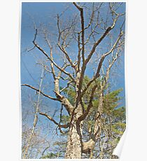 Old Maple Tree Poster