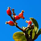 Little Red Fruit by glennc70000