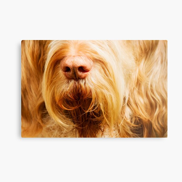 Soft Spinone Nose Metal Print