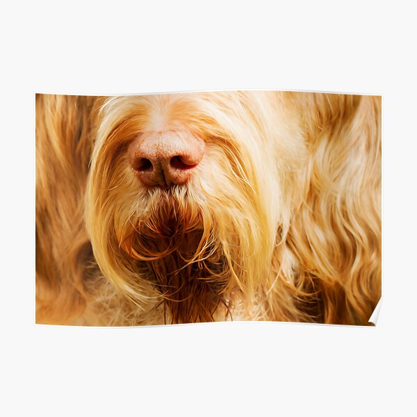 Soft Spinone Nose Poster