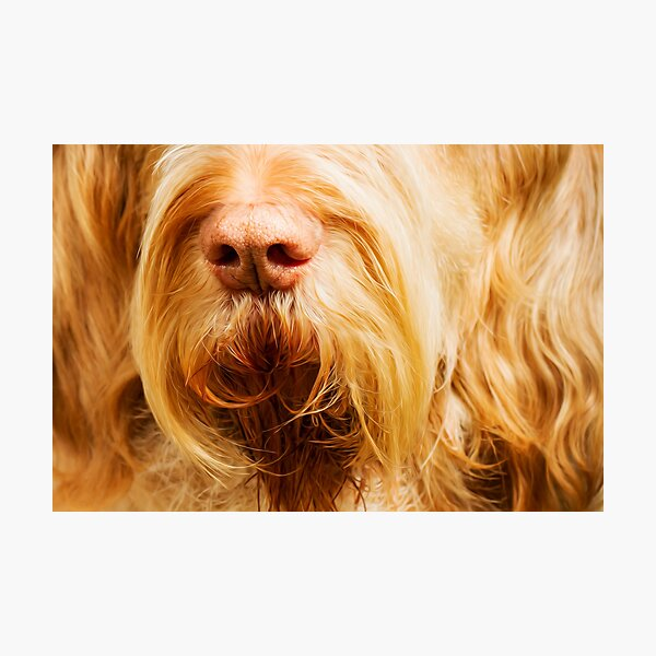 Soft Spinone Nose Photographic Print