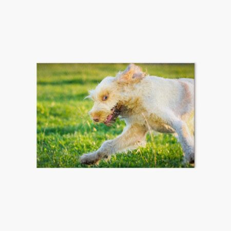 Chase me Spinone Art Board Print