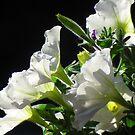 White Petunias by Christine Ford