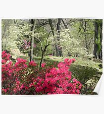 Red Azaleas and Dogwood Poster