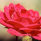 tears of a rose by katpartridge