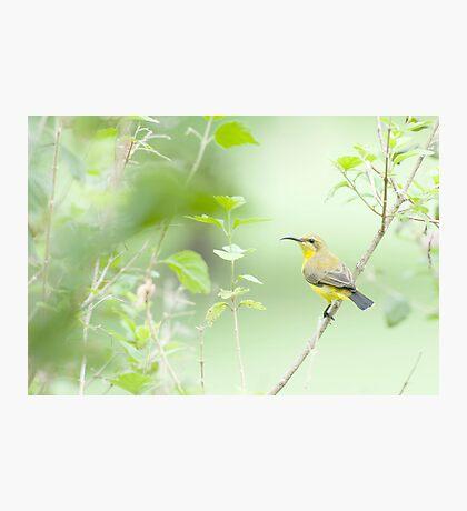 Bird in the bush - honey eater  Photographic Print