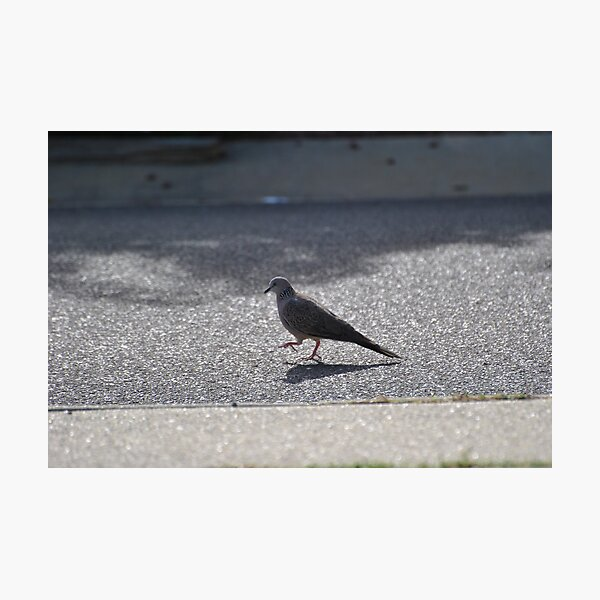 Pigeon Step Photographic Print
