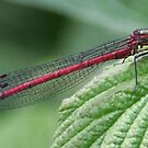 Red Damselfly by Teuchter