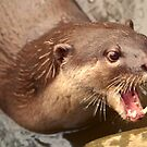 Smooth Coated Otter by SerenaB