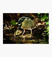 Night Heron and Catfish Photographic Print