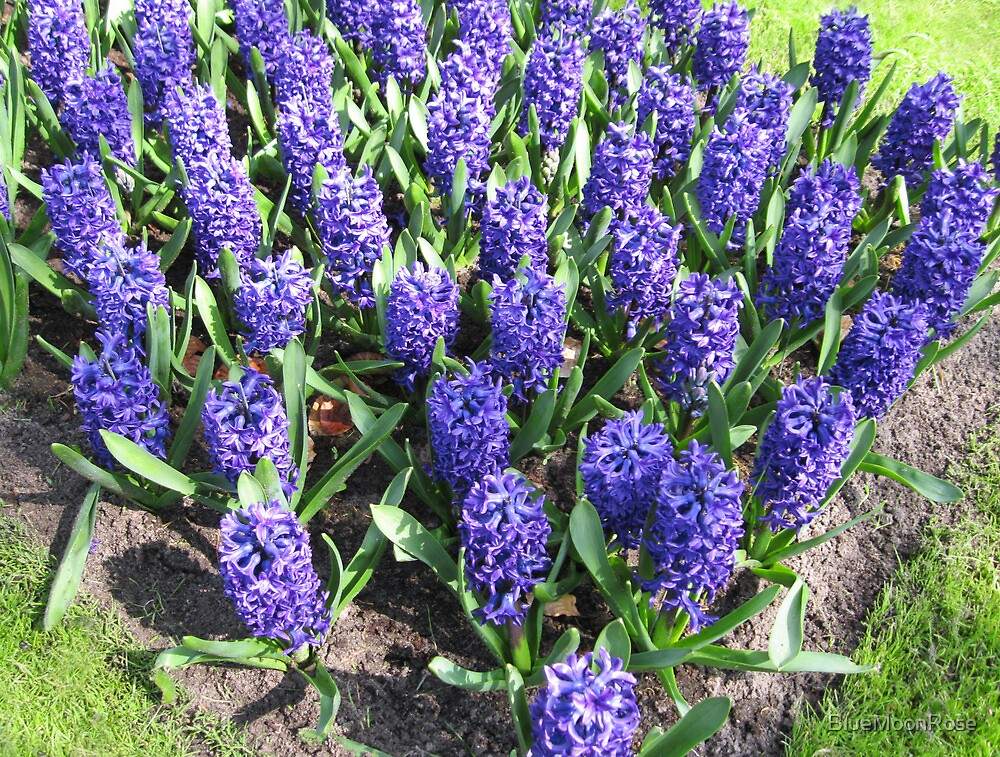 March of the Hyacinths by BlueMoonRose