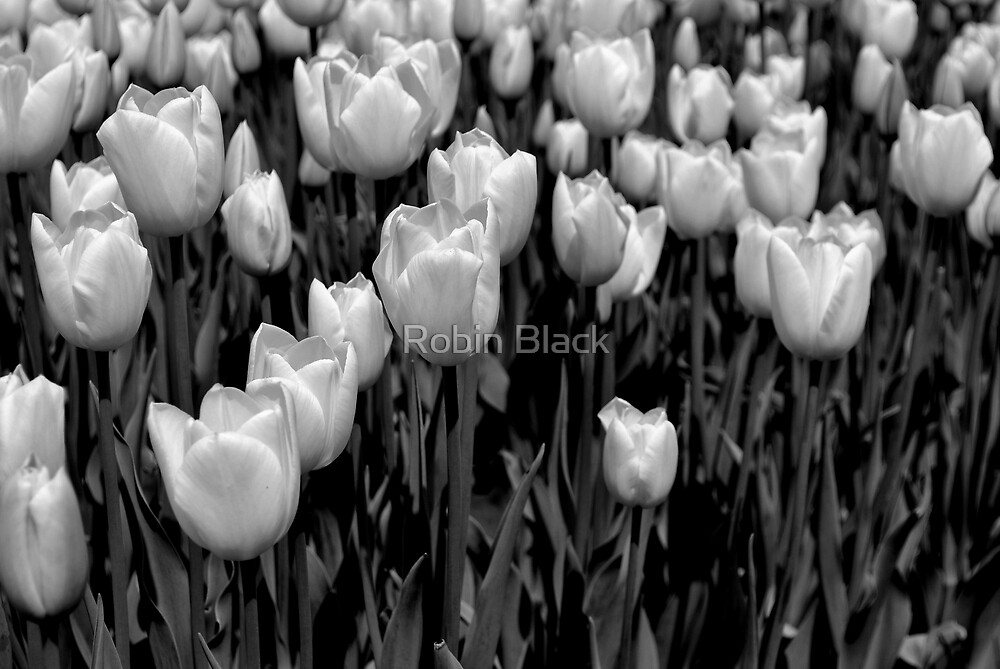 White Tulips by Robin Black