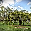 Weeping Willow at the Gardens by Robin Black