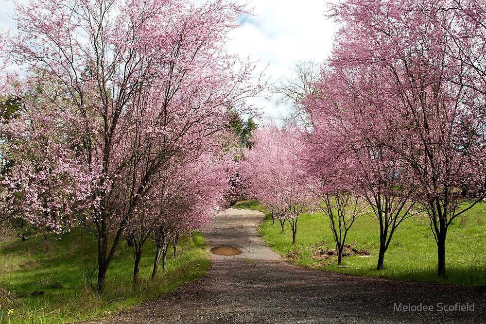 Quot Ornamental Plum Trees Quot By Melodee Scofield Redbubble