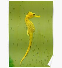 Seahorse, Hippocampus, with Babies Poster