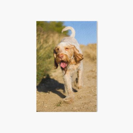 Out for a stroll Spinone Art Board Print