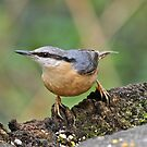 Nuthatch by dilouise