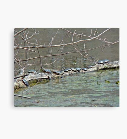 Painted Turtle Haul Out - Chrysemys picta Canvas Print