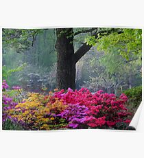 Early Morning Azaleas Poster