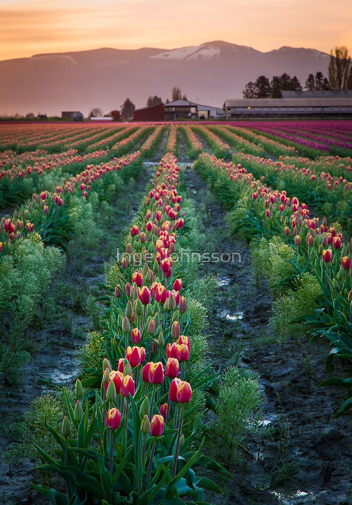 Skagit Tulips at Dawn by Inge Johnsson