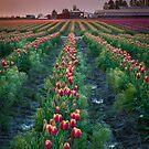 Skagit Tulips at Dawn by Inge Johnsson