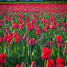 Mount Vernon Tulips by Inge Johnsson