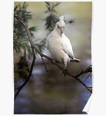 Little Corella Poster