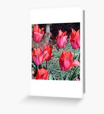 Temple Beauty tulips Greeting Card